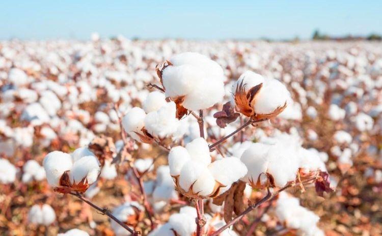 Azerbaijan decreased export of cotton