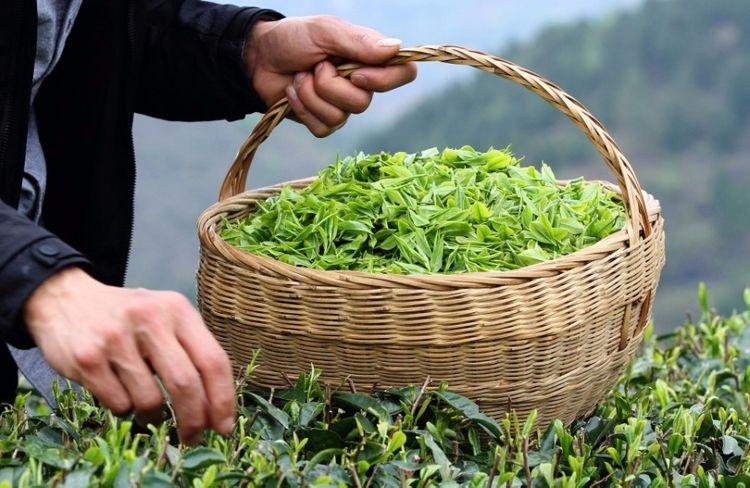 Azərbaycanda çay idxalı ixracı 10 dəfəyə yaxın üstələyib