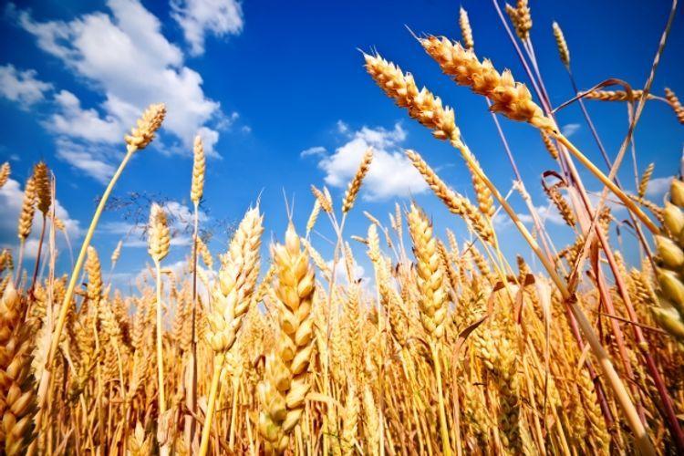 Azerbaijan decreases wheat import by 38%
