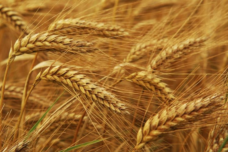 Procurement of high-quality bread grain for State Wheat Fund announced