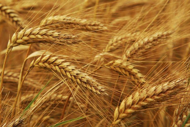 Объявлено о закупке высококачественной продовольственной пшеницы для Государственного зернового фонда