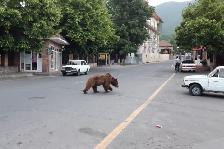 Министерство: Медведь доставлен в Центр реабилитации дикой природы в Алтыагадже - ВИДЕО - ОБНОВЛЕНО-4