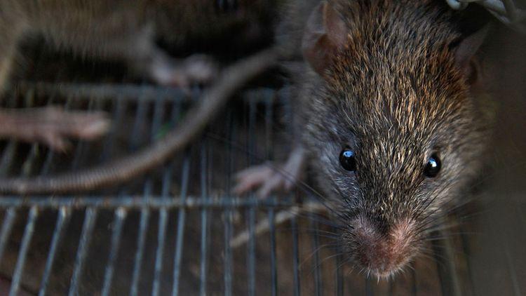 Ученые впервые зафиксировали передачу вируса «Сеул» от крысы к человеку в Германии