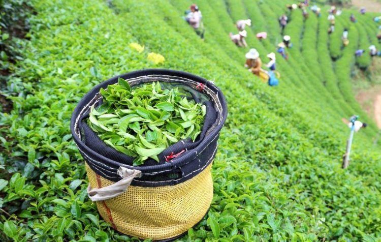 Азербайджан сократил экспорт, увеличил импорт чая