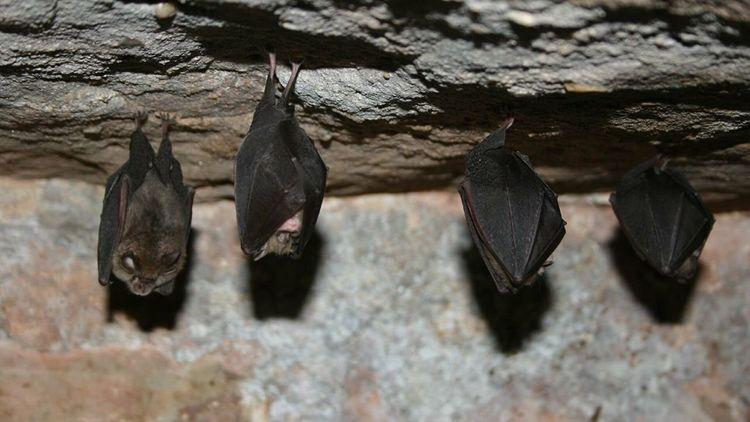 Ученые выяснили, почему летучие мыши стали главными резервуарами вирусов