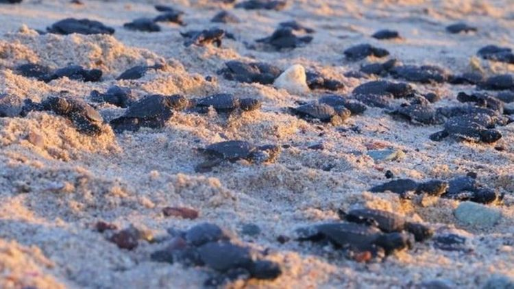 Record number of endangered turtles hatch in Mexico