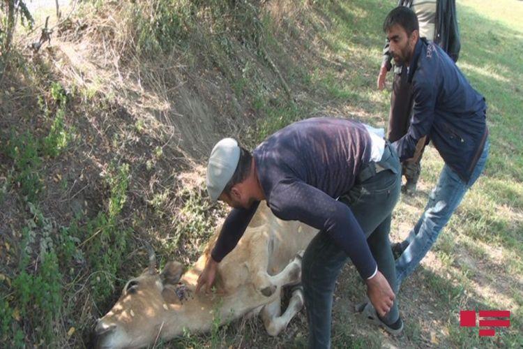 В Загатале застрелили животных - <span class=
