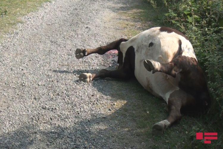 В Загатале застрелили животных - <span class='red_color'>ФОТО</span>