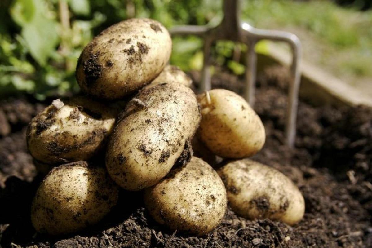 В Азербайджане увеличилось производство картофеля