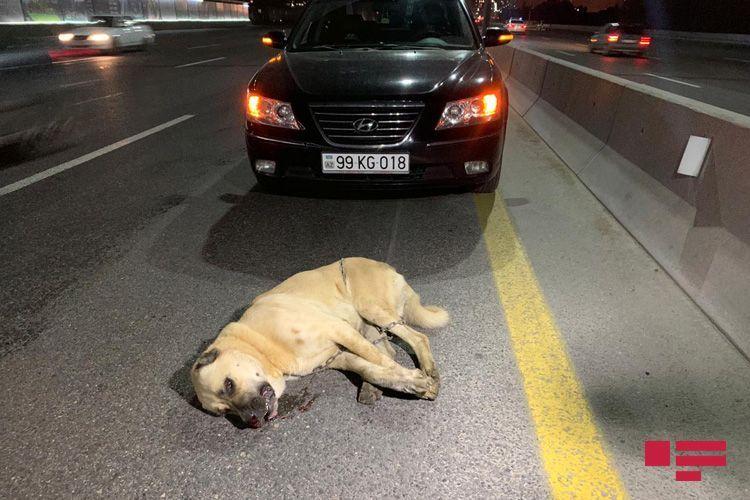 При ДТП на шоссе Баку-Сумгайыт сбиты мотоциклист и собака - ФОТО
