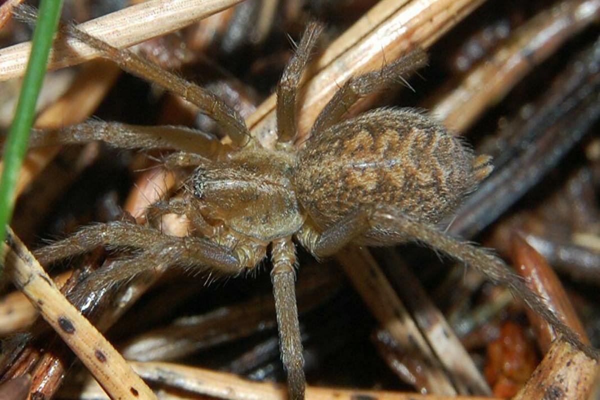 Создано лекарство от инфаркта из смертельного яда пауков
