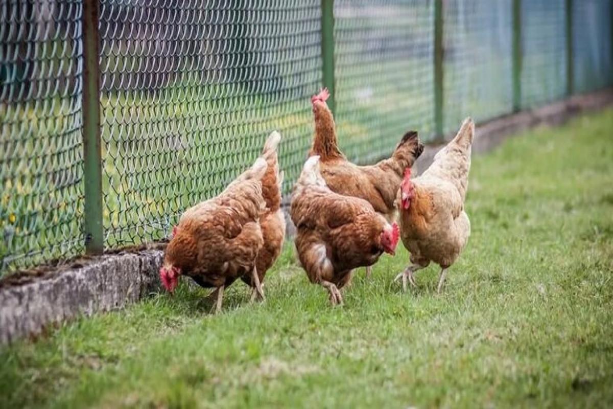 ВОЗ оценила возможность возникновения пандемии птичьего гриппа H10N3