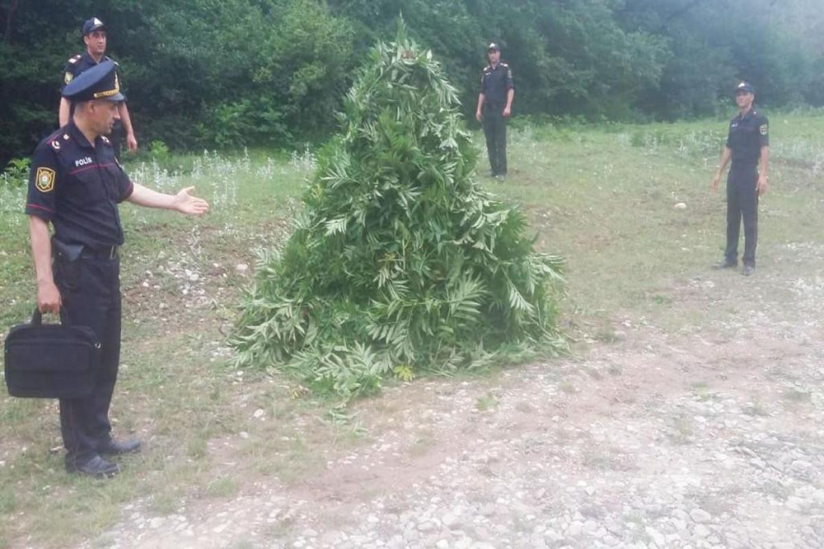Qubada yabanı halda bitən 3 tondan artıq narkotik bitki məhv edilib - <span class=