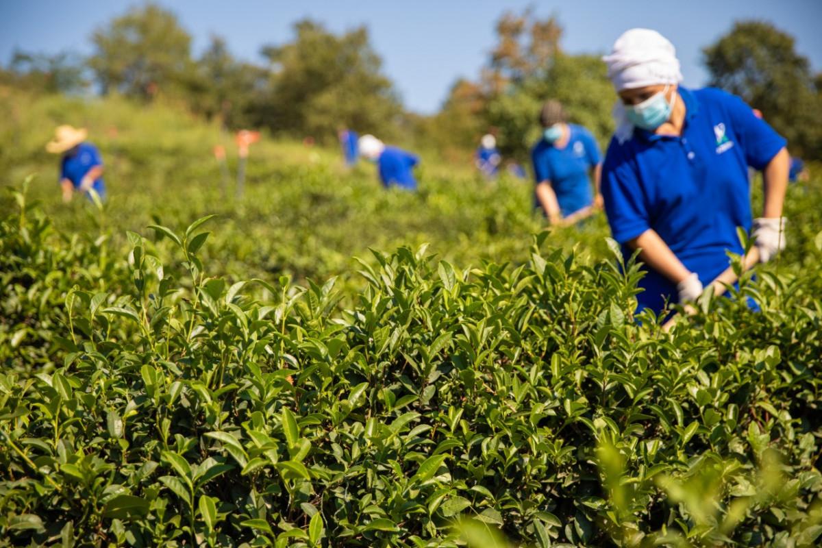 """""""Azerçay"""" çayçılıq sahəsinin inkişafına dəstəyini davam etdirir - <span class=""""red_color"""">FOTO</span>"""