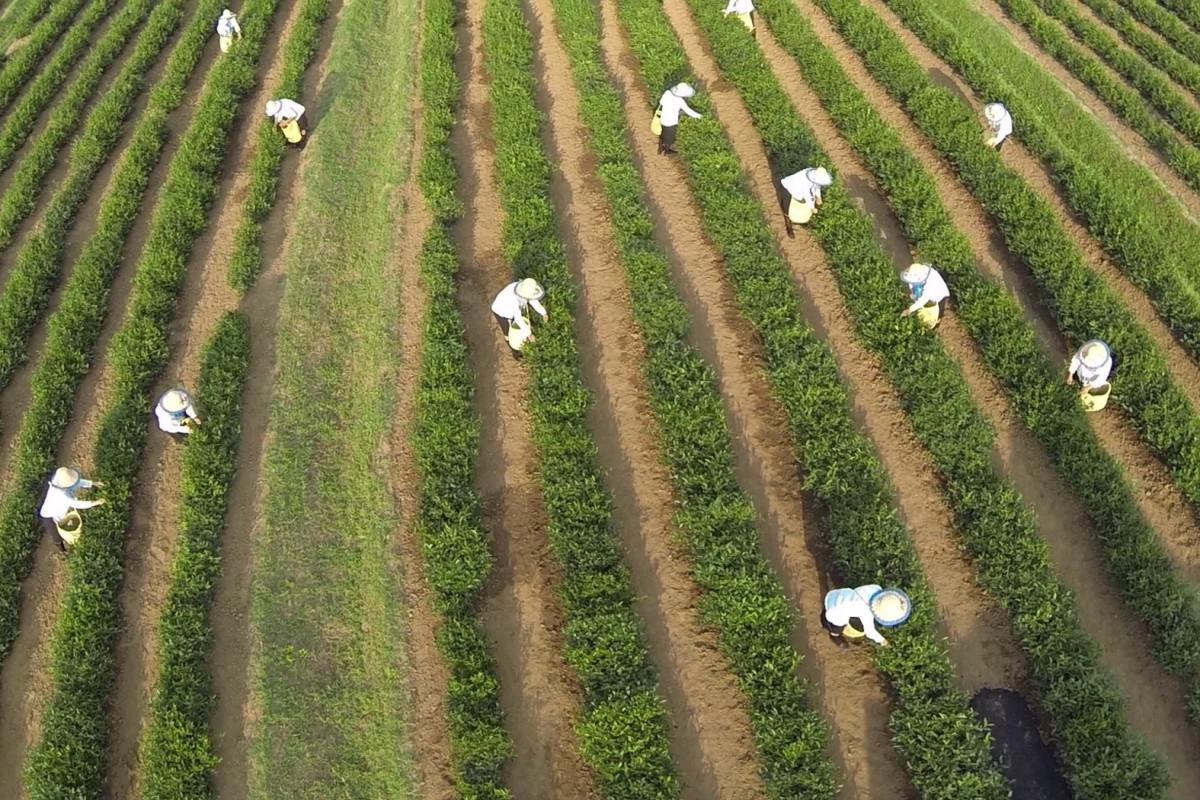 В январе-мае в Азербайджане импорт чая превысил экспорт примерно в 12 раз