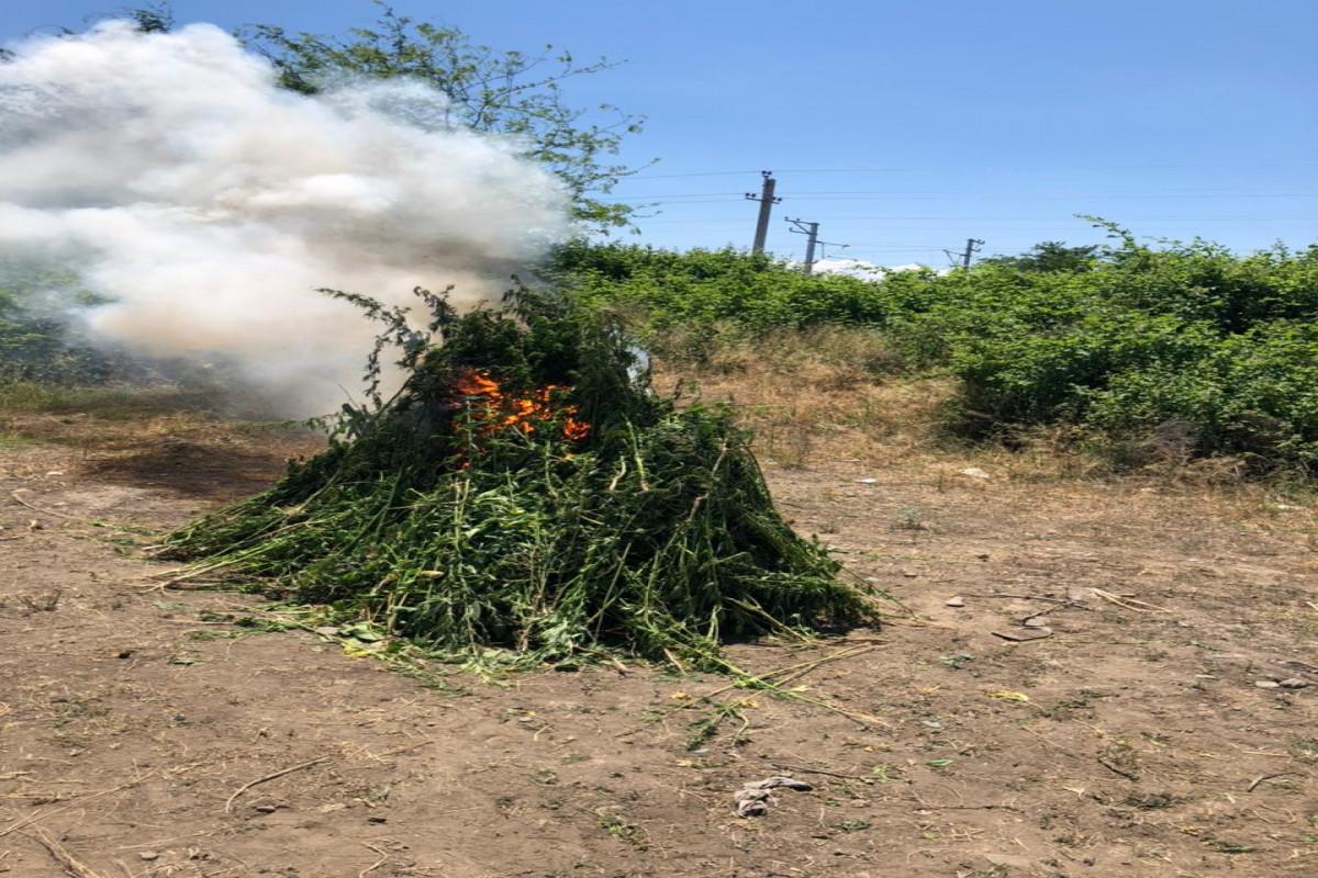 В Агстафе уничтожено около 4 тонн растений с наркотическим содержанием