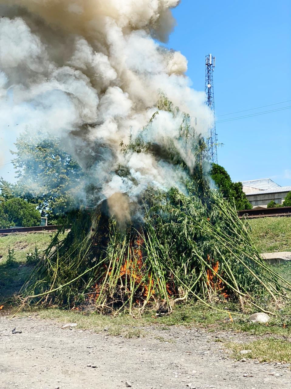 7 tondan artıq yabanı halda bitən narkotik bitkisi məhv edilib