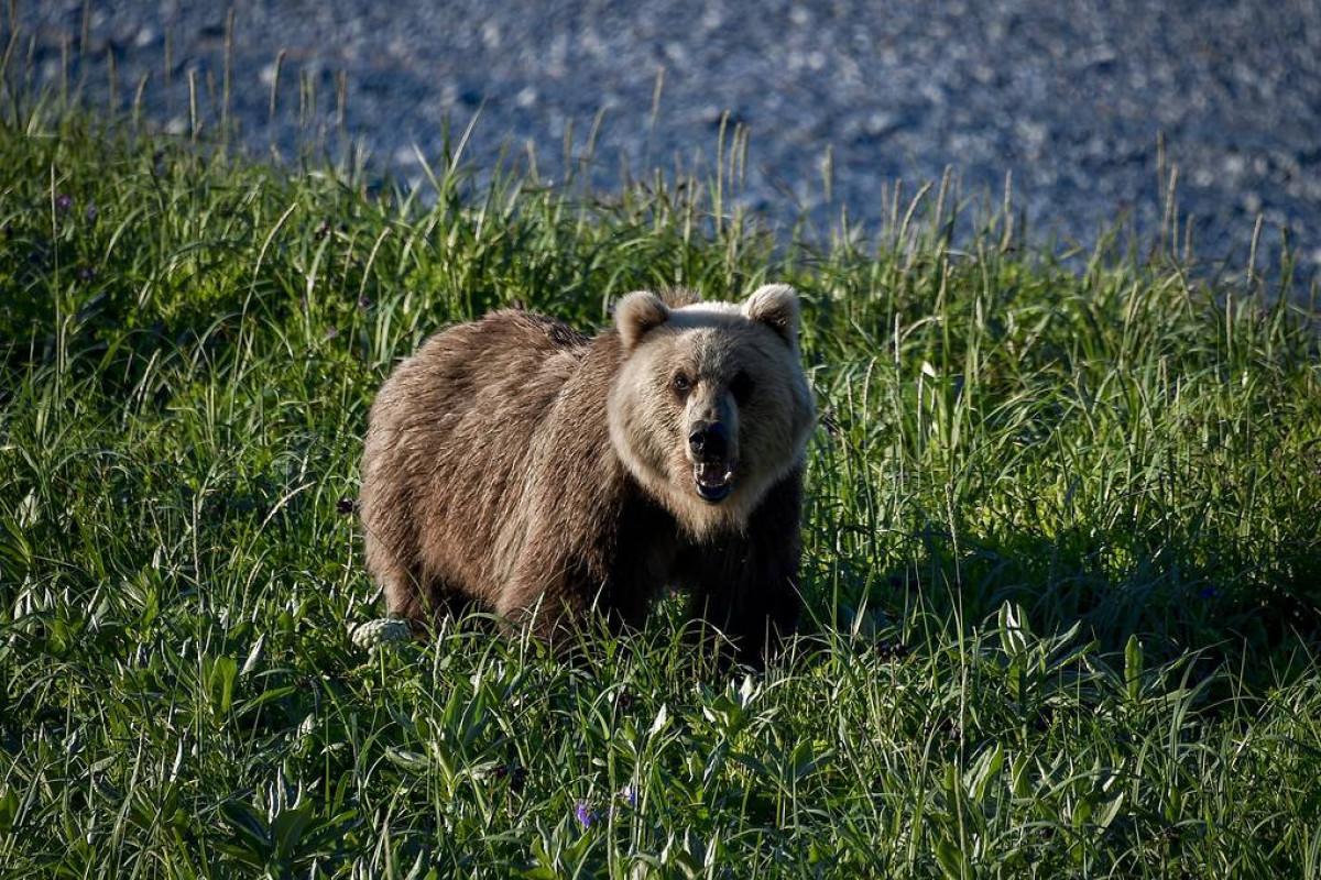 Rusiyada ayı turist qrupuna hücum edib, 1 nəfər ölüb, 1 nəfər xəsarət alıb