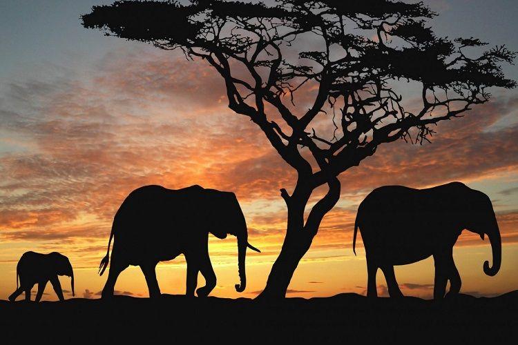 Afrika fillərinin yox olmaq təhlükəsi artır