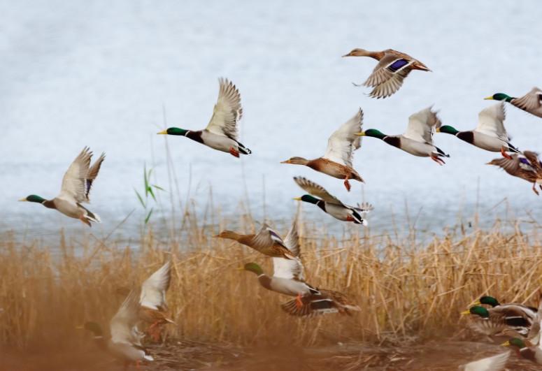 В Китае зафиксировали вспышку гриппа H5N8 среди диких птиц