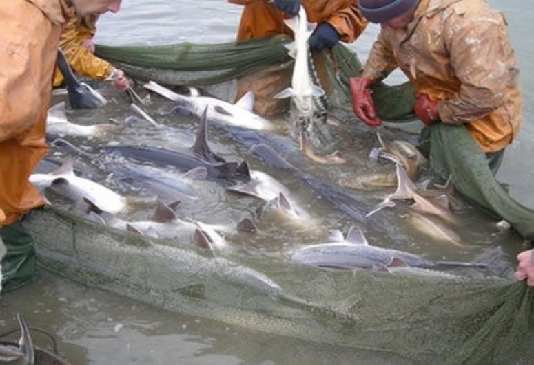 МЭПР: В этом году в соответствующие структуры было передано около 15 уголовных дел, связанных с незаконным выловом рыб