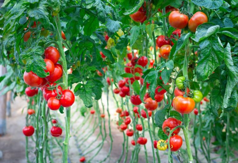 Bu günə qədər ümumilikdə 131 müəssisədən Rusiyaya pomidor ixracına icazə verilib