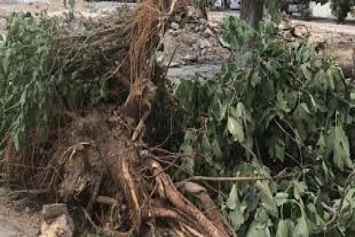 Gəncədə ağacların qanunsuz çıxarılması ilə bağlı cinayət işi başlanılıb