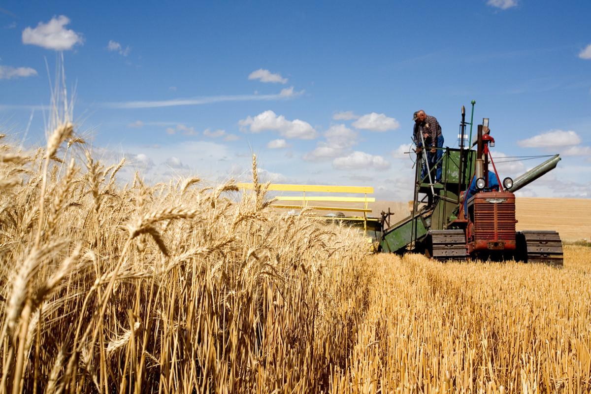 Мировые цены на пшеницу в августе увеличились из-за ухудшения прогнозов качества урожая