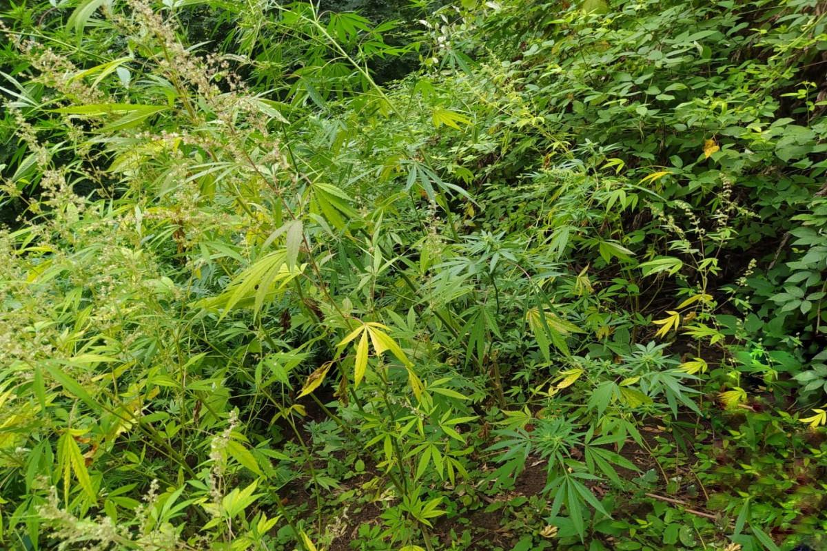 Astarada dağlıq ərazidə narkotik bitkilər yetişdirən şəxslər saxlanılıb