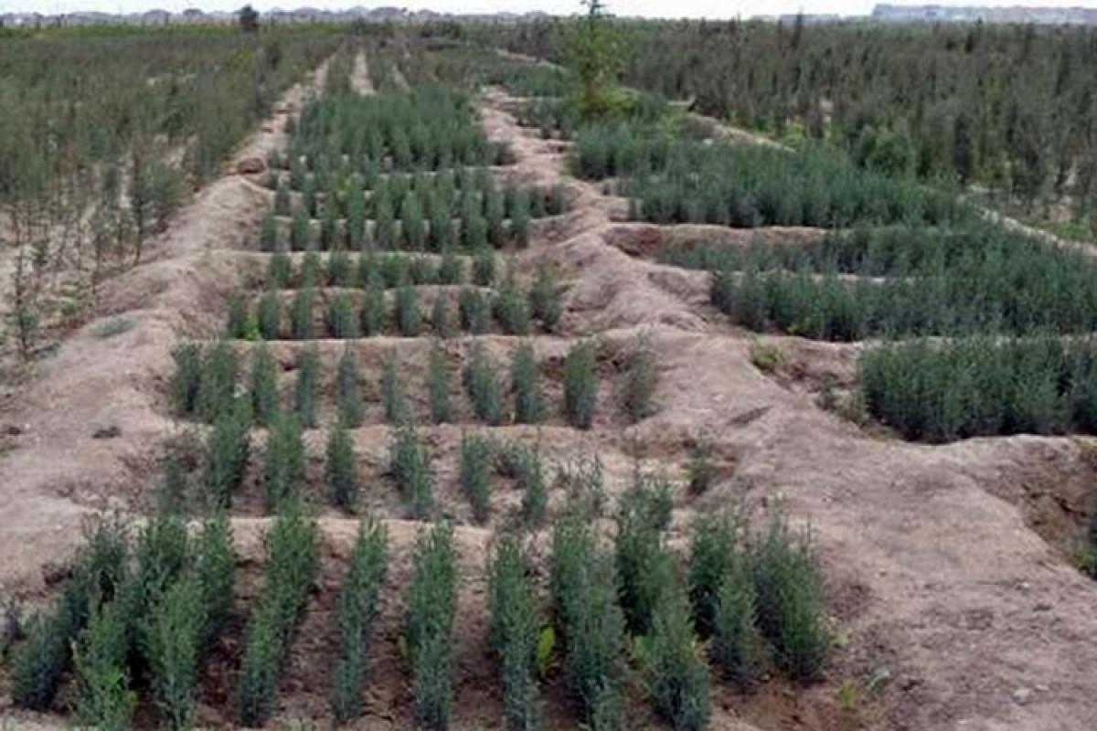 В День памяти в 76 городах и районах Азербайджана посажено в целом 58 тысяч 109 деревьев