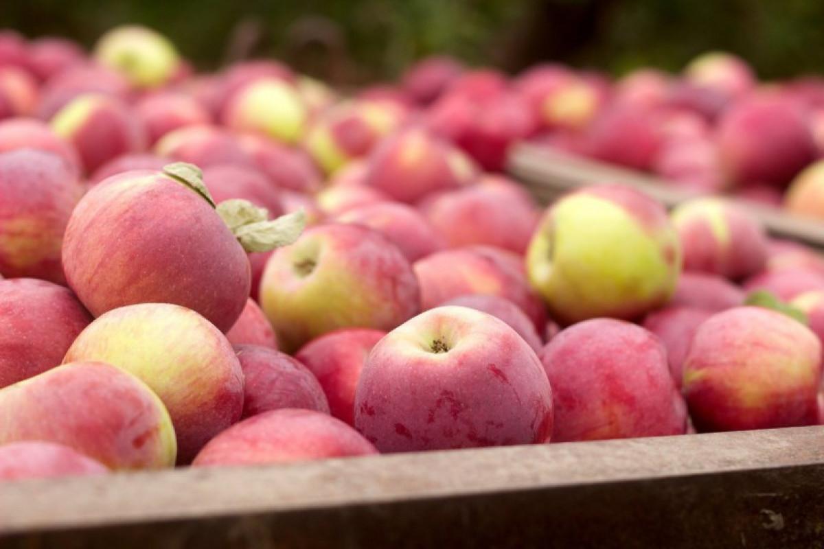 """70 азербайджанским предприятиям выданы разрешения на ввоз яблок в РФ-<span class=""""red_color"""">ОБНОВЛЕНО"""